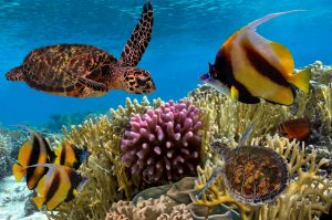 colorful coral reef with sea turtle and fish in Oahu